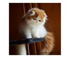 persijski i exota macici za prodaju