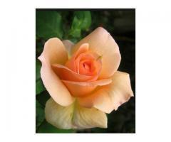 sadnica ruža
