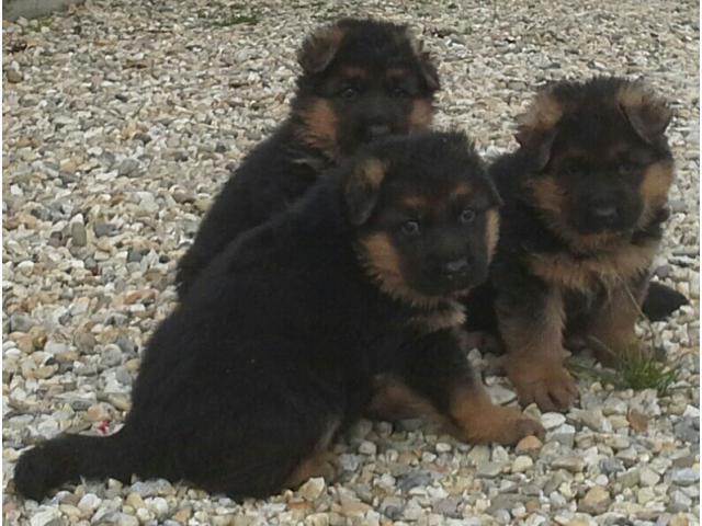 Njemački Ovčar -čistokrvni krupni štenci