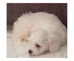 čistokrvni štenci mini maltezera