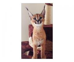 egzotični Serval i karakal, Ocelot mačići na raspolaganju