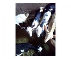Koze miješane pasmine prodajem