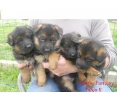 Njemački ovčar- štenci