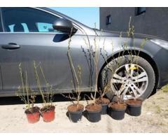 Americka borovnica sadnice, sertifikovane sadnice