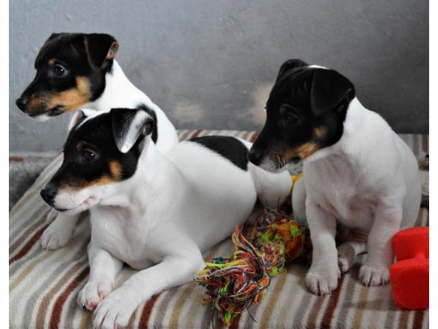 Jack Russell Terrier  štenci na prodaju - 1/8