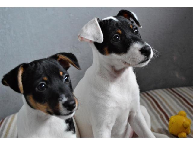 Jack Russell Terrier  štenci na prodaju - 2/8