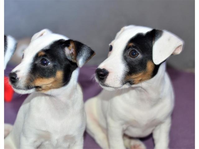 Jack Russell Terrier  štenci na prodaju - 3/8