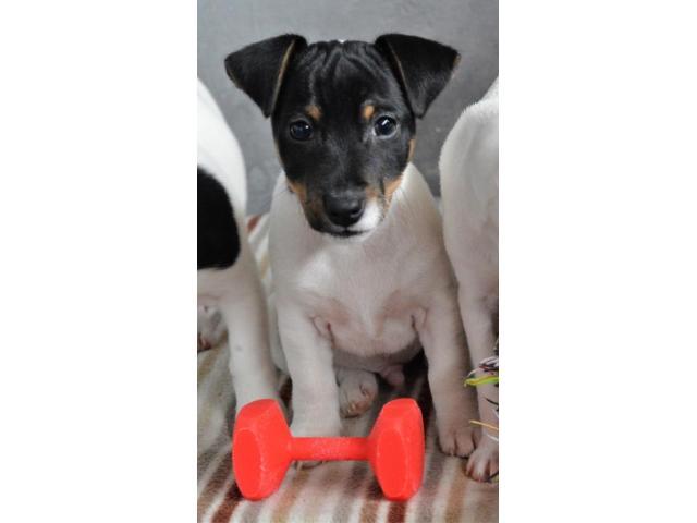Jack Russell Terrier  štenci na prodaju - 4/8