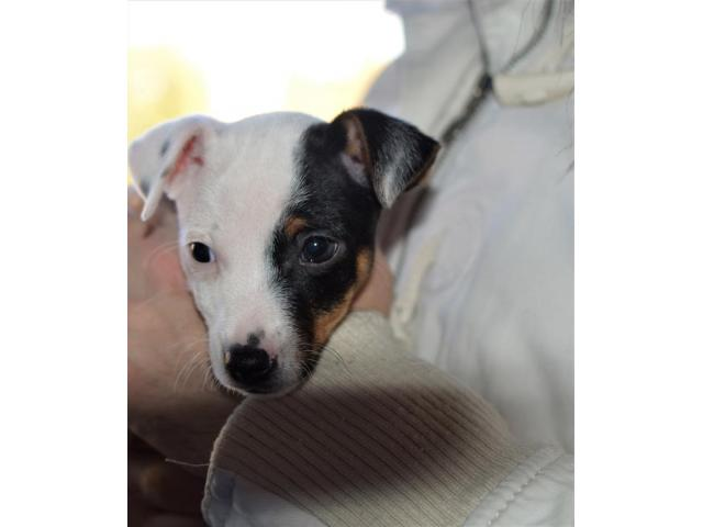 Jack Russell Terrier  štenci na prodaju - 5/8