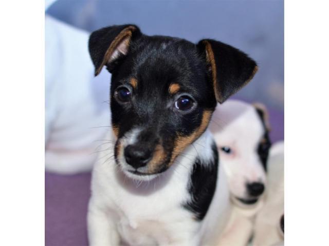 Jack Russell Terrier  štenci na prodaju - 6/8