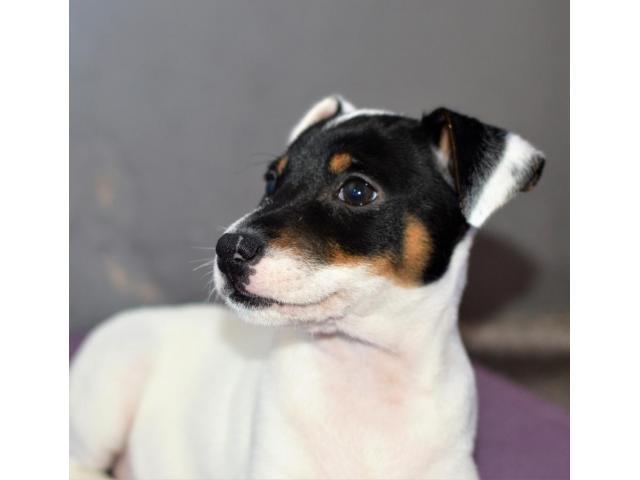 Jack Russell Terrier  štenci na prodaju - 7/8