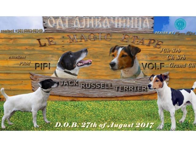 Jack Russell Terrier  štenci na prodaju - 8/8