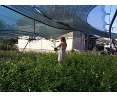 Borovnica, dvogodišnje sadnice sorte Duke i Bluecrop