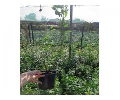 Sadnice borovnice u saksiji