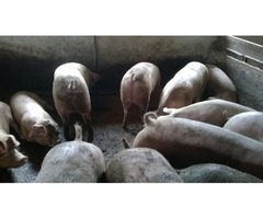 Svinji mesnati 210-250 kg