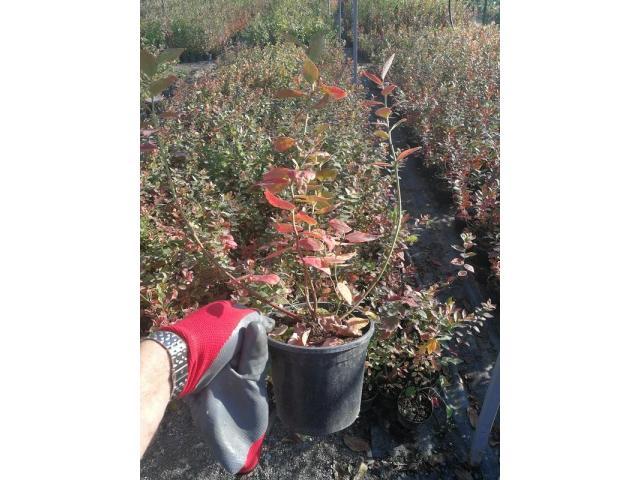 Sadnice borovnice, sertifikovane