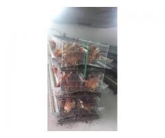 Kavezi za koke nosilje - proizvodnja i prodaja kaveza