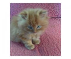 Perzijski mačići